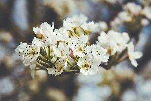 iseeyouphoto spring blossom white