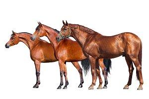 Three horses isolated on white