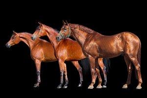 Three horses isolated on black