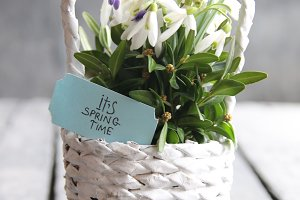 It's Spring Time - Hand drawn inspirational quote and Bouquet of snowdrops in a wicker basket