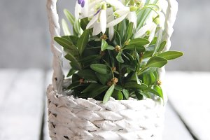 Spring sale label and Bouquet of snowdrops in a wicker basket