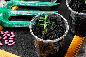Plant seeds and seedlings