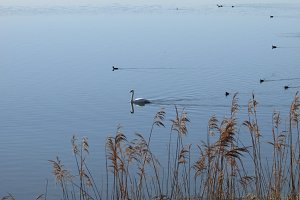Swan & Lake
