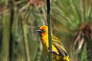 Cape Weaver (Ploceus capensis)