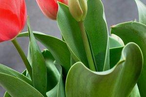 Informal bunch of tulips