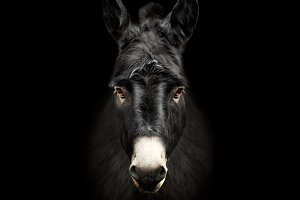 Donkey on black background