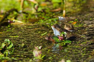Frogs Doing What Comes Naturally