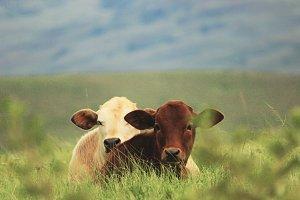 Baby Calfs In Grass