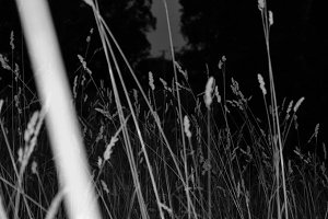 Wheat Grass Black And White