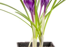 Crocus in flower pot isolated on white background closeup