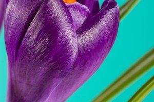 Crocus flowers on a green background closeup