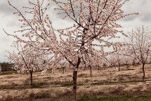 Almond tree full of flowers
