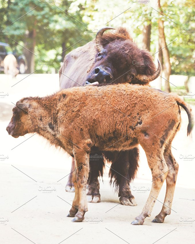 Bathing Baby Bison.jpg - Animals