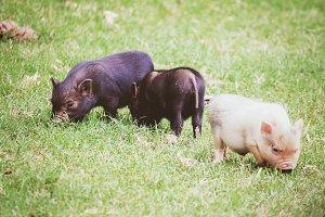 3 Lil Pigs.jpg