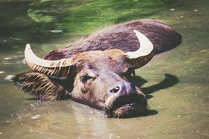 Bathtime Buffalo
