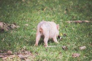 Tiny Piggy Bum