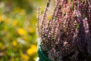 Flowering heather