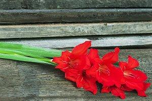 Red gladioli