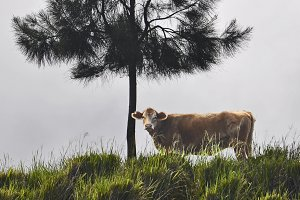 Cow under tree in Hawaii