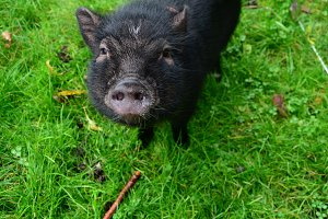 Small black pet pig