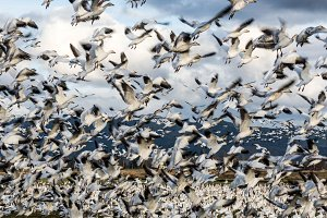 Snow geese in motion