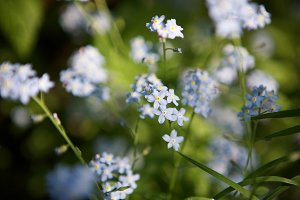 Tender forget-me-nots