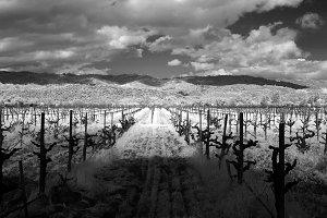 Napa Old Vine Vineyard