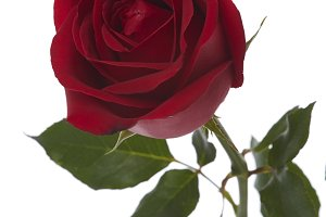 Single beautiful red rose