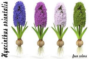 Hyacinth big