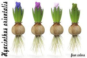 Hyacinth small