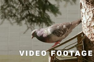 Pigeon jumps to fly