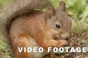 Squirrel eats the nut