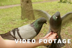 Pigeons eating on the hand
