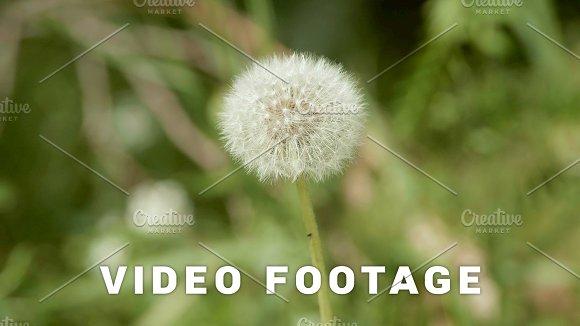 Dandelion Flower In The Park