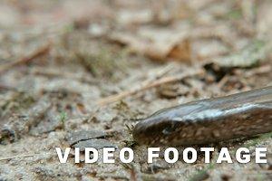 Limbless lizard look like a snake. Close up shot