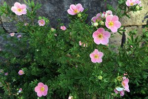 Small, cute, pink flowers