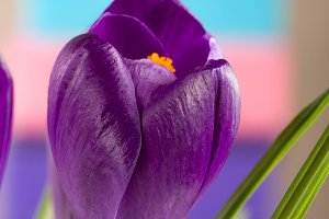Crocus flowers on a colored background closeup