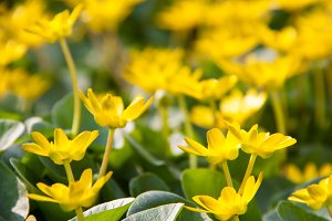 ficaria verna yellow spring flowers as a background