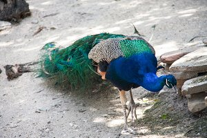 The beautiful peacock walks in the reserve