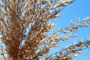 golden reed with blue sky