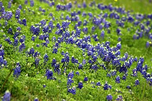 Bluebonnet field -Texas bluebonnets