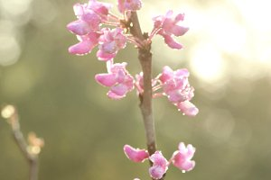 Pink Blossoms and Morning light