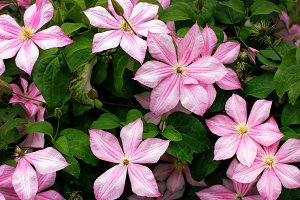 Blooming light pink clematis