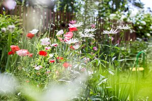 Flowering poppies and chamomiles