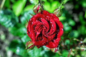 Red rose in drops of dew