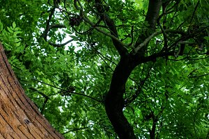 Brick wall and branches of a tree