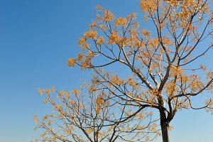 Leafless tree with hanging seeds