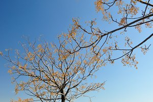 Leafless trees hanging seeds