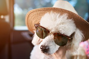 Poodle dog in sunglasses