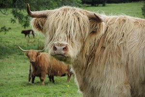 Scottish Highland Cattle